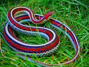 The Most Patriotic Snake