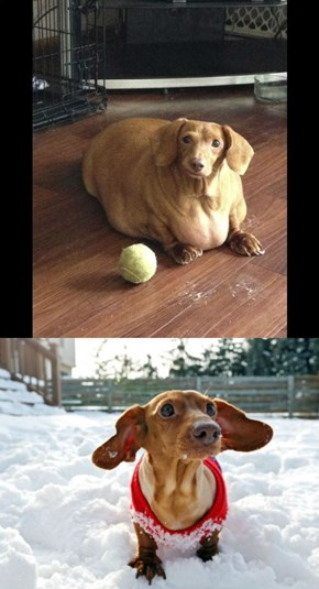 Meet Dennis, The Previously Obese Dachshund, Now Healthy and Fit