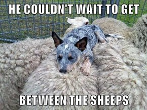 HE COULDN'T WAIT TO GET  BETWEEN THE SHEEPS