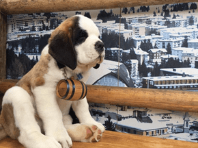 Saint Bernard Puppies, Now Offering Rum and a Phone Battery Charger