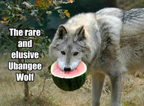 The rare and elusive Ubangee Wolf