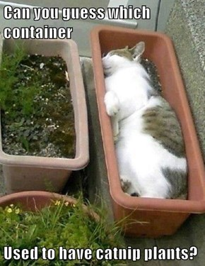 Can you guess which container  Used to have catnip plants?