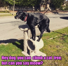 Hey dog, you can  climb a cat  tree,  but can you say meow?