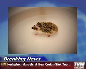 Breaking News - Hedgehog Marvels at New Corian Sink Top...