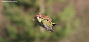 Weasel Riding on Woodpecker
