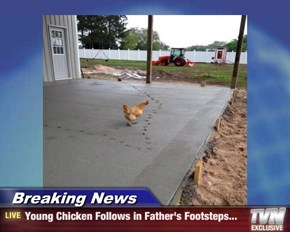 Breaking News - Young Chicken Follows in Father's Footsteps...