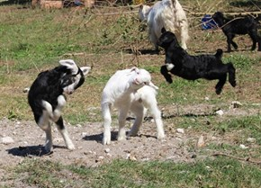 Baby Goats Derping
