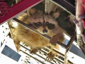 Raccoon drops in on Crane Operator more than 210 METRES UP!!!  For his sandwich!