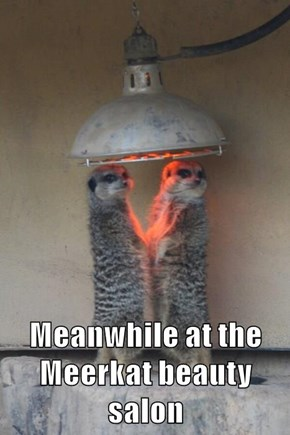Meanwhile at the Meerkat beauty salon
