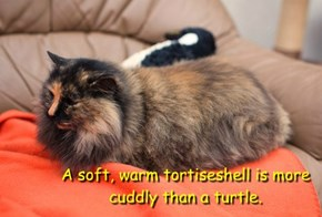 A soft, warm tortiseshell is more cuddly than a turtle.
