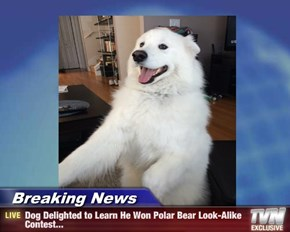 Breaking News - Dog Delighted to Learn He Won Polar Bear Look-Alike Contest...