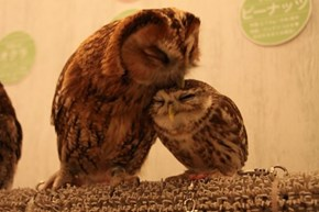 Owl Cafe in Japan