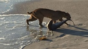 Photo of the Day: Bobcat Catches Shark on Beach in Florida