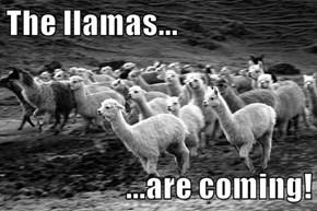 The llamas...   ...are coming!