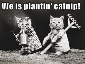 We is plantin' catnip!