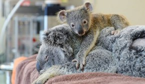 Baby Koala Hold Onto Mom While She Gets Life Saving Surgery