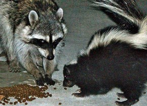 Hollywood Raccoon and Skunk Share Cat Food