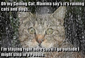 Oh my Ceiling Cat, Mamma say's it's raining cats and dogs..  I'm staying right here cos if I go outside I might step in a Poodle.