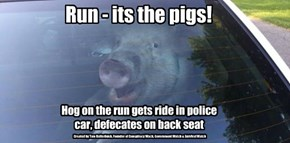 Run - its the pigs!