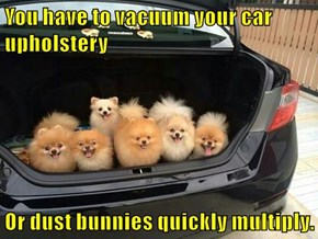 You have to vacuum your car upholstery  Or dust bunnies quickly multiply.