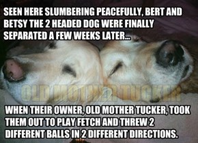 SEEN HERE SLUMBERING PEACEFULLY, BERT AND BETSY THE 2 HEADED DOG WERE FINALLY SEPARATED A FEW WEEKS LATER...