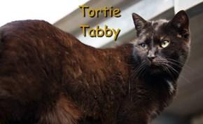 Tortie Tabby