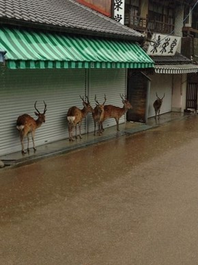 Adorable Deer Duck Under Buildings During a Passing Storm