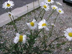 Mutant of the Day: A Viral Picture Blames the Fukushima Nuclear Meltdown for These Deformed Daisies