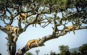 I didn't know lions grew on trees.