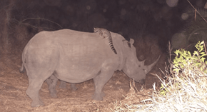 Hitchhiker of the Day: Cats Ride Black Rhinos in South Africa