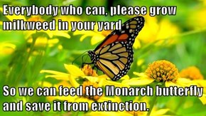 Everybody who can, please grow milkweed in your yard  So we can feed the Monarch butterfly and save it from extinction.