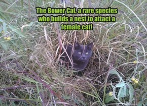 The Bower Cat, a rare species who builds a nest to attact a female cat!