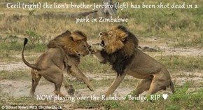 Cecil (right) the lion's brother Jerciho (left) has been shot dead in a park in Zimbabwe   NOW playing over the Rainbow Bridge, RIP ♥