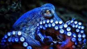 Are Octopuses Aliens? Yes, and We Can Prove It!
