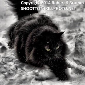 "Angela Currie Brumm's (aka dragonsbridge) cat, ""Mistress of The Dark"" Hateful. Copyrighted"