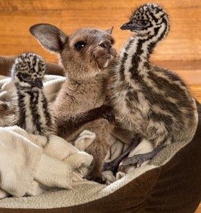 Baby Emus and a Baby Kangaroo Coexist in One Happy, Adoptive Family