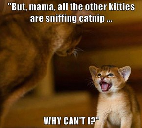 """""""But, mama, all the other kitties are sniffing catnip ...  WHY CAN'T I?"""""""