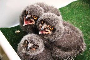 These Snowy Owlets Are Very Cute and, For Some Reason, Also Very Disappointed in You