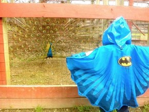 Batman Meets His New Villain... THE PEACOCK!