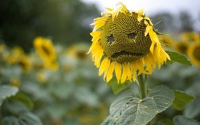 Poor little Sad Sunflower