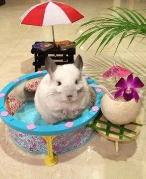 This Chinchilla Loves Summer