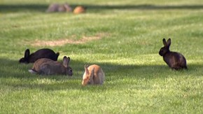 Cute Plague of the Day:Thousands of Wild Rabbits are Terrorizing a Washington Town