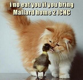 i no eat you if you bring Mallard home 2 ICHC