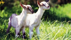 Chase Down Your Dream Job; This Farm Needs You to Cuddle Its Little Baby Goats