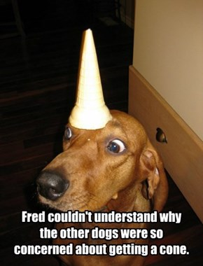 Fred couldn't understand why the other dogs were so concerned about getting a cone.