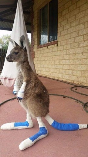 The Cutest, Saddest Baby Kangaroo is Still Going Strong After Severe Burns From a Wildfire