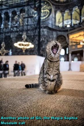 Another photo of Gli, the Hagia Sophia Museum cat