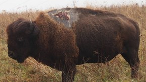 Bison Named 'Sparky' Walks Away From Lightning Strike With Epic Scar
