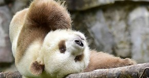 The World's Only Brown Panda May Also Be the Most Adorable