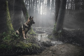 Majestic German Shepherd